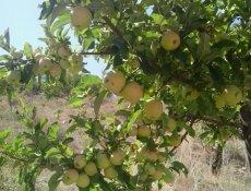 تصاویر سیب های خوش مزه یک باغ در یاسوج